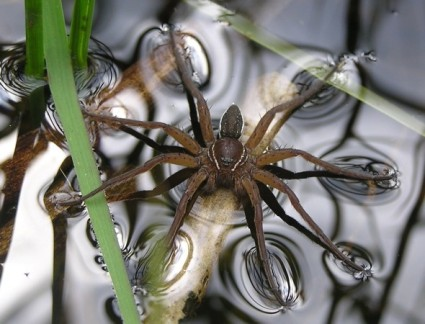 Fen raft spider walks on water!